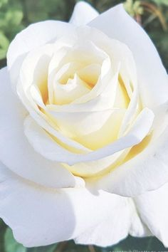 Blumen & Pflanzen This gorgeous white rose inspired us to create our Chelsea Blooms print. Black And White Roses, White Rose Flower, Beautiful Rose Flowers, Exotic Flowers, Pretty Flowers, Photo Rose, Rose Flower Wallpaper, Rose Images, Organic Roses