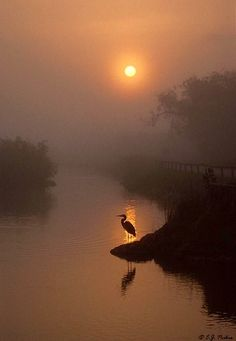 Great Blue Heron in the sunrise, Florida.