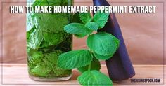 How to Make Peppermint Extract- made with Prairie Organic Vodka & mojito mint from my garden! Now waiting 2 months!