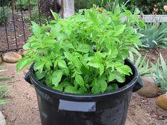 4 jednoduché kroky ako vypestovať 45 kg zemiakov v sude