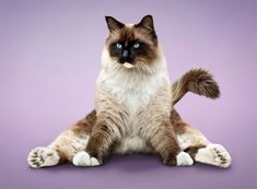 Yoga cat pose.  I love Siamese/Persian cats. No, I just love cats!!!!!!