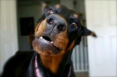 The Doberman Pinscher is among the most popular breed of dogs in the world. Known for its intelligence and loyalty, the Pinscher is both a police- favorite Doberman Pinscher Blue, Black Doberman, Doberman Love, Cute Animal Photos, Animal Books, Working Dogs, Beautiful Dogs, I Love Dogs, Funny Dogs