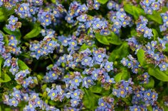 Blue forget-me-nots (myosotis) at New Covent Garden Market - January 2015