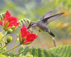 Foto bico-reto-de-banda-branca (Heliomaster squamosus) por Theodoro Prado | Wiki Aves - A Enciclopédia das Aves do Brasil
