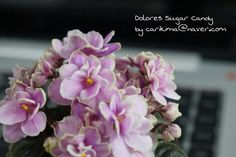 African Violet miniature - Dolores Sugar Candy   #Africanviolet  #Dolores_Sugar_Candy