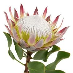 King Protea Flower 12 stems King Protea Larger variety unique looking flowers Available year round. Exotic Flowers, Large Flowers, Amazing Flowers, Fresh Flowers, Beautiful Flowers, Protea Art, Protea Flower, Bulk Flowers Online, Bulk Roses
