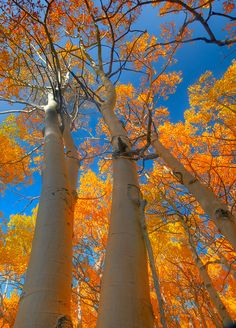 Autumn in Nashotah has me in the mood for colors. Love this photo. Sierra Fall by Kevin McNeal Beautiful World, Beautiful Places, Beautiful Pictures, Trees Beautiful, Jolie Photo, Parcs, Amazing Nature, Aspen, The Great Outdoors