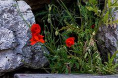 lizenzfreie Fotos - Natur pur Mohn Blume zwischen Felsen http://www.foto-tfp.de/