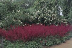 Carpenteria californica (Background)