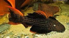 Scarlet Plecostomus Different Types Of Animals, Types Of Fish, Nature Aquarium, Planted Aquarium, All Fish, Fish Fish, Pet Supermarket, Aquarium Pictures, Plecostomus