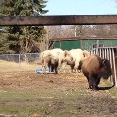 Buffalo and bison are making a comeback in North America.
