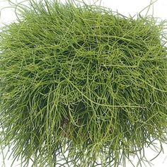 Trailing rhipsalis- One of over 400+ varieties from Exotic Angel Plants®