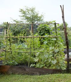 An A-frame trellis supports 'Sunsweet' watermelon (left) and 'Waltham Butternut' squash vines.
