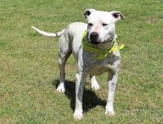 grey Tuesdays Tails #38: Opt To Adopt Bentley! Bentley is a 4-5 year old Pitbull mix at Edmond Animal Shelter in OK