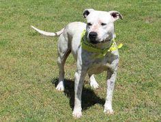 grey Tuesdays Tails #38: Opt To Adopt Bentley!
