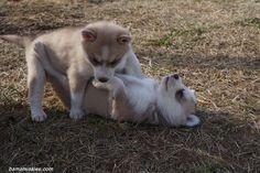 Siberian husky puppies for sale #husky #siberianhuskies #snowdogs