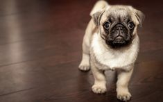 Download wallpapers pug, pets, cute animals, dogs, puppy