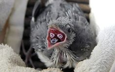 A rare Crested Coua chick, displaying the markings on the inside of its mouth as it prepares to receive food from its caretaker. These markings are unique for each individual chick and fade as the bird matures.