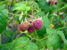 Framboisier (Framboise), Rubus idaeus, Rubus strigosus. || Fiche technique et histoire