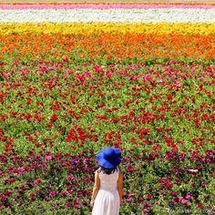 Carlsbad Flower Fields (Beautiful Flower Fields You Must See in Southern California) // localadventurer.com