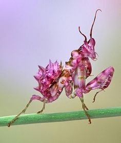 "Seeing things suggests: In case some of the orchid ""creatures"" look too abstract to threaten hungry insects, consider the orchid mantis. Cool Insects, Bugs And Insects, Weird Creatures, All Gods Creatures, Beautiful Bugs, Amazing Nature, Beautiful Creatures, Animals Beautiful, Orchid Mantis"