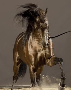 MARWAN AL SHAQAB, arabian stallion. Photography from HORSES OF QATAR by Vanessa Von Zitzewitz.