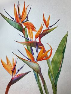Kitipong Maksin — Bird of Paradise Flowers Watercolor Projects, Watercolor Plants, Watercolor Paintings, Watercolours, Birds Of Paradise Plant, Birds Of Paradise Flower, Art Floral, Australian Native Flowers, Nature Drawing