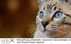KIO/PicturePress/StudioX chat visage yeux bleus