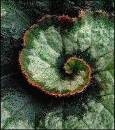 Fractal spirals in nature - Begonia leaf. Fractals In Nature, Spirals In Nature, Begonia, Fibonacci Spiral, Fibonacci Code, Foto Art, Patterns In Nature, Fractal Art, Macro Photography