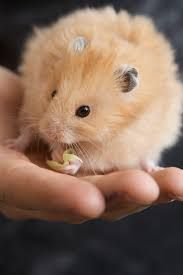 Resultado de imagen para bebes hamsters