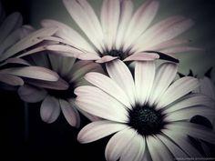 Dark daisys