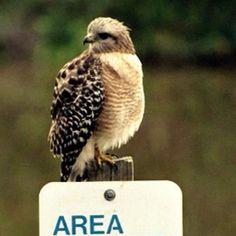 Red shoulder hawk spotted at JN Ding Darling National Wildlife Refuge