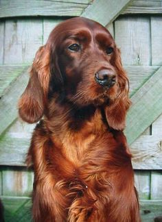 I'll always have a soft spot for Irish Setters...still miss our O'Malley.