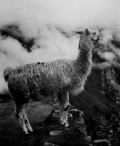 JOSEPH GUAY  Machu Picchu Llama, Peru, 2002