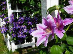 Idei pentru grădină şi terasă: Clematite - Stele florale pe suporturi suspendate Stele, Pergola, Gardening, Plant, Outdoor Pergola, Lawn And Garden, Horticulture