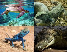De gauche à droite et de haut en bas : la tortue verte, le Sphenodon, le Pseudotrapelus sinaitus et le crocodile du Nil