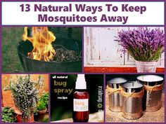 Sick of those annoying blood-sucking mosquitoes? Put down the sprays and nets. Here are 13 different mosquito repellent plants to help keep mosquitoes away. Natural Mosquito Repellant, Mosquito Repelling Plants, Mosquito Trap, Mosquito Control, Porches, Bug Spray Recipe, Keeping Mosquitos Away, Natural Bug Spray, Citronella Candles