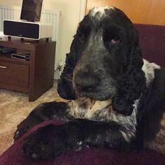 Someone's got tired legs and sad sad eyes  #cockerspaniel