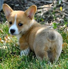 Why buy a Corgi puppy for sale if you can adopt and save a life? Look at pictures of Corgi puppies who need a home. Cute Funny Animals, Funny Animal Pictures, Cute Baby Animals, Funny Cute, Funny Dogs, Funny Photos, Funny Drunk, Funny Corgi Pictures, Puppy Pictures