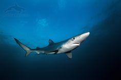 blue shark, prionace glauca, žralok modrý