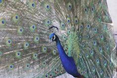 Peacock displaying plummage, Assiniboine Park  |  2355 Corydon Avenue, Winnipeg, Manitoba R3P 0R
