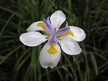 Dietes iridioides (African iris, Cape iris, fortnight lily, Morea iris, wild iris, dietes) is an ornamental plant in the Iridaceae family.