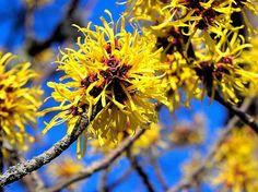 plante care infloresc iarna: nucul vrajitoarelor sau Hamamelis virginiana
