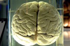 do we really only use 10 percent of our brain?The 10% myth may have begun in the early 1900's when the neurosurgeon Karl Lashley removed portions of the brains of rats who were trained t...