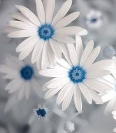 flowersgardenlove:  blue daisy Flowers Garden Love