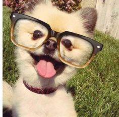 Hipster dog is so cool, cute and fashion forward. Go Hip! Hipster Dog, Cute Puppies, Dogs And Puppies, Cute Dogs, Doggies, Maltese Puppies, Terrier Puppies, Baby Dogs, Baby Animals