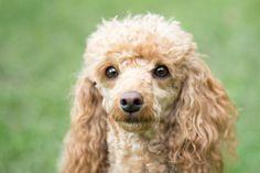 beautiful poodle  Copyright: SITZ UND BLITZ Hundefotografie