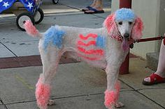 Standard Poodle Dyed For The 4th Of July
