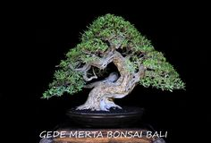 Name of bonsai : pemphis acidula Tree height : 52 cm Diameter pot : 50 cm High pot : 9 cm Design: gede merta bonsaibali Collection: Gede Merta bonsaibali