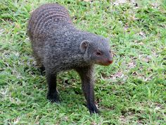 Mongoose digging up the lawn!